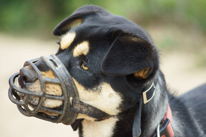 Muzzle Training For Aggressive Dogs