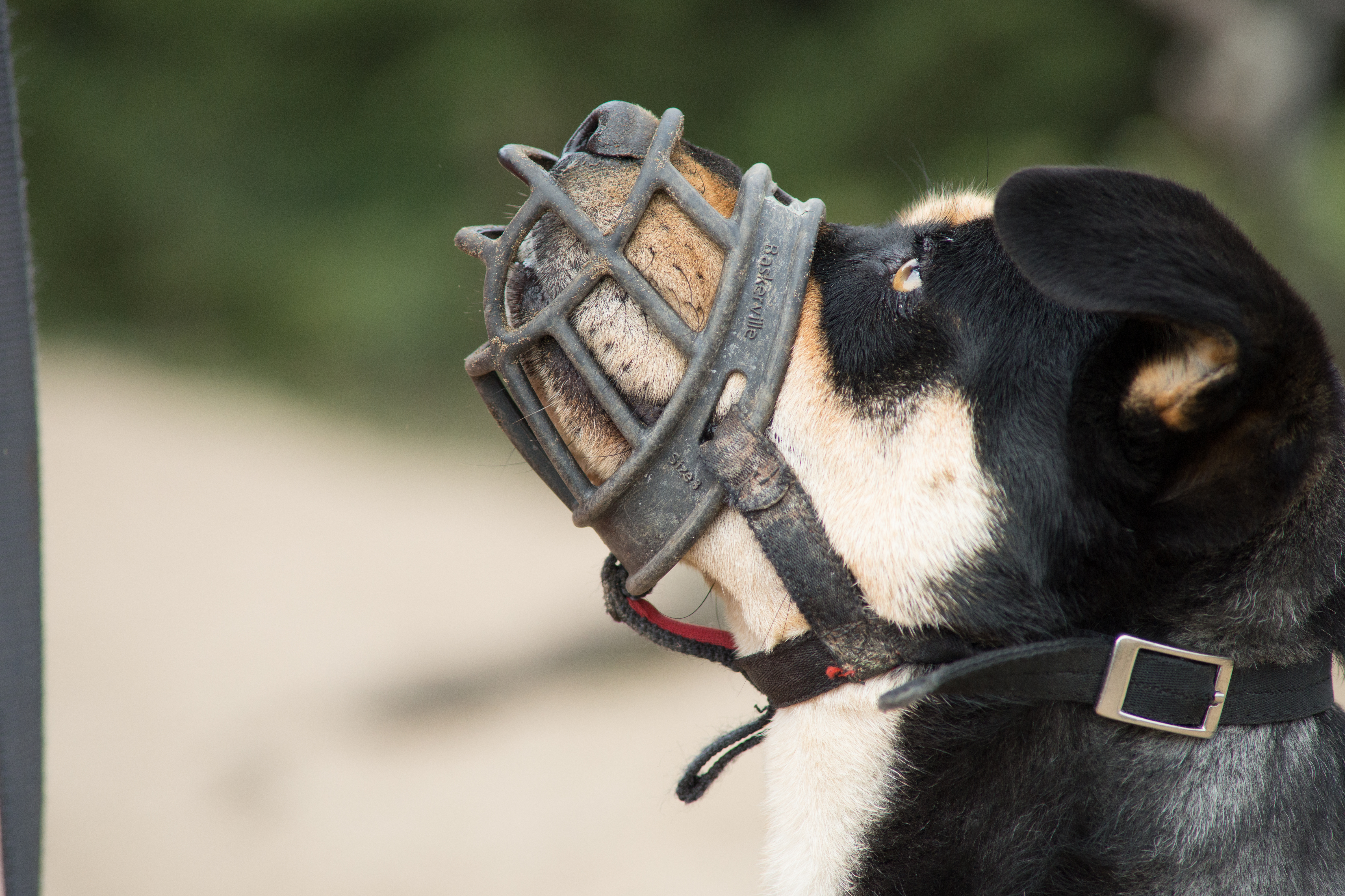 How to Muzzle Train a Dog recommend