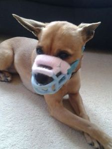 Muzzle Up! supporter Rochelle Riri Kneale used yarn to pad a Baskerville muzzle for her dog, Tia